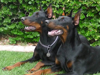 Our Dobermans