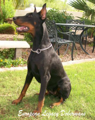 Our Female - Feliss. Black and rust Doberman Pinscher