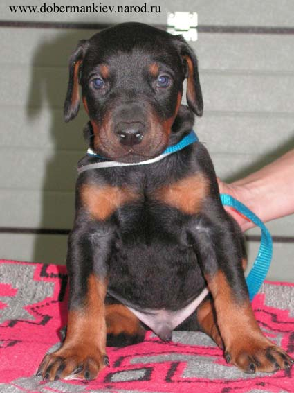 Elegant Line Hit of the Season- Doberman pinscher puppy