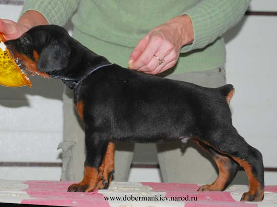 Hit - Doberman pinscher puppy