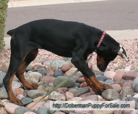 Searching Doberman pinscher