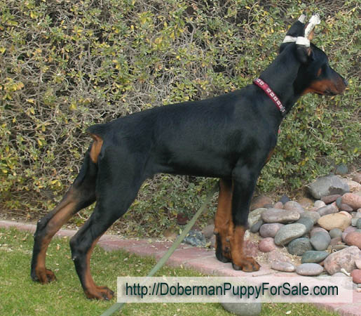 Doberman pinscher puppy from European Legacy dobermans in Phoenix, AZ
