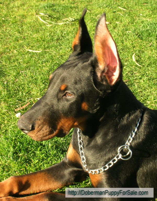 Hit is 4 months old on this picture -  Beautiful head with full muzzle. Hit is from European Legacy dobermans in Phoenix, AZ