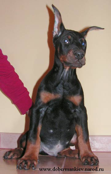 Hit - good sized, large-boned doberman pinscher puppy