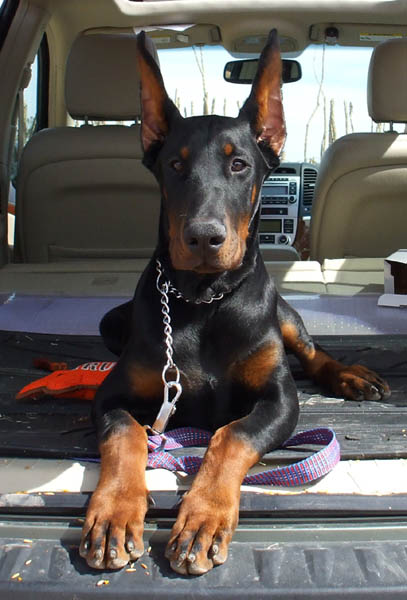 Hit (5 months old on this picture). Superior size male puppy. European Champion and working bloodlines.