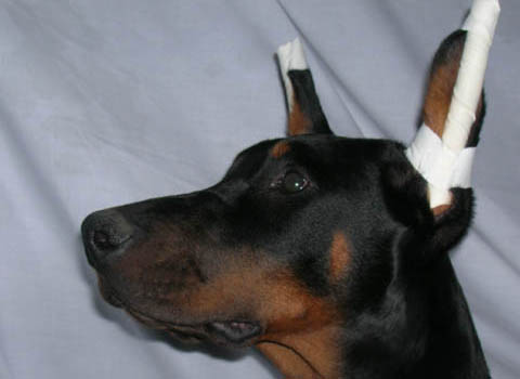 Doberman puppy with ears taped