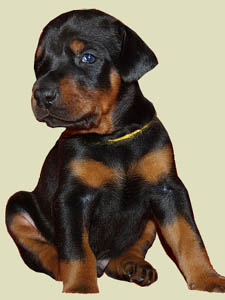 Choosing a doberman puppy
